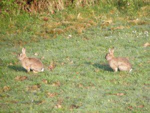millet-magnetiseurs-lapins-de-garenne