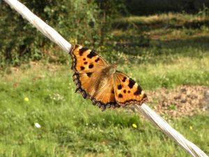 millet-magnetiseurs-papillon-vanesse-petite-tortue